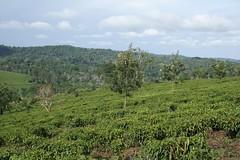 Tea Slopes (My photos live here) Tags: africa canon eos tea fort farm plantation portal uganda 1000d