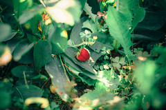 Strawberry ( Nino) Tags: travel food green film nature fruits field fruit analog 35mm canon 50mm countryside strawberry berry nikon berries dof natural bokeh air s ambient mm manual nikkor 50 35 depth ai f12 f12s