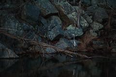 Great Blue Heron. C&O Canal at Great Falls. Potomac, MD. (Craig Hudson Photography) Tags: usa color heron nature birds animals horizontal canal unitedstates dusk greatfalls maryland co potomac potomacriver towpath greatblue traveldestination bigpool