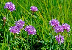 Thrift (Armeria maritima) (wightbern) Tags: macro closeup landscape nikon isleofwight wildflowers seathrift freshwaterbay d7000 nikonnaturephotography sigma105mmf28exdgoshsm