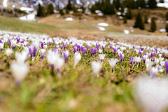 Frhling auf der Alp Flix (balu51) Tags: white mountain alps landscape spring purple hiking meadow crocus mai wildflowers 60mm alp weiss krokus frhling violett swissalps wanderung 2016 graubnden grisons wildblumen alpflix blumenmeer naturparkela copyrightbybalu51