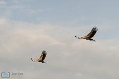 Double (grimaux.jordan) Tags: morning two sky bird nature clouds grey fly flying wings couple crane duo flight mara afrika savannah crowned balearics regulorum