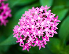 Egyptian Starburst (The Flying Inn) Tags: pink plant flower floral gardening pennsylvania conservatory longwoodgardens kennettsquare egyptianstarburst