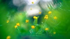 Let go (Ans van de Sluis) Tags: flower green nature floral yellow botanical spring flora colours bokeh botanic colourful hortus letgo bokehlicious ansvandesluis