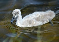 Cygnet (Colin McLurg) Tags: uk england water droplets swan pond feathers cygnet naturereserve cowpenbewley colinmclurg
