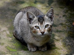 DSC_0341 (kiki nagi) Tags: cats kitten pets feline animal nikond7200