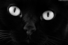 A me gli occhi (Valerio Santagostino) Tags: black whte bianco e nero white cat gatto eyes occhio pantera felino chat kaz bianconero occhi macro dreaming animal animale simpaty simpatia blackandawhite bn