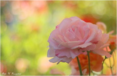 Rose with pastel bokeh (K. Haagestad) Tags: flower floral rose petals soft dof bokeh pastel canon7dmarkii