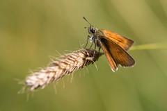 Hesprie de la Houque - Thymelicus sylvestris (regisfiacre) Tags: nature macro canon 100mm insecte insect bugs outside exterieur papillon butterfly hesperie houque thymelicus sylvestris meadow prairie