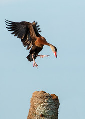 Treetop Landing (Bill McBride Photography) Tags: flying flight bif duck blackbelliedwhistlingduck blackbellied tree landing bird avian nature wildlife ritchgrissommemorial wetlands viera melbourne fl florida summer august 2016 canon eos 70d ef100400l dendrocygnaautumnalis