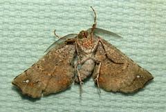 Parepisparis excusata (Victor W. Fazio III) Tags: newsouthwales australia manningvalley moth lepidoptera parepisparisexcusata geometridae