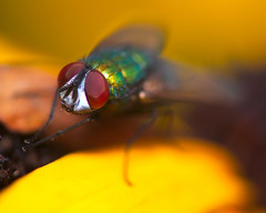 RG_329 ( Ed Lee) Tags: nikon 7100 sigma 105mm color contrast closeup richmond green morning park depthoffield bokeh portrait fly insect macro wings hair leg plant flower petal eye compound