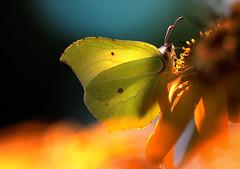 Brimstone, citroenvlinder_003 (cees van gastel) Tags: ceesvangastel natuur nature macro vlinders butterfly brimstone citroenvlinder bouvignebreda canoneos550d tamron70300mm tussenringen extensionrings