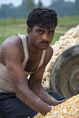 Farm worker Sarujet Lodha checks maize shelled in a machine powered by 4WT in Sirkohiya, Bardiya. (CIMMYT) Tags: nepal csisa cimmyt maize agriculture smallholder farmer mechanization asia