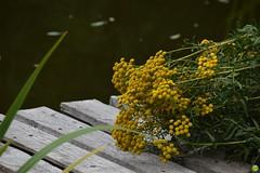 Tansy (petrOlly) Tags: europe europa poland polska polen tricity tricityarea trjmiasto pomorze pond water flower flowers nature natura przyroda summer plants plant garden inthegarden