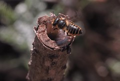 7/7 Supersedure - M.centuncularis (el.gritche) Tags: hymenoptera france 40 garden megachilidae megachile centuncularis female nest hoplitistridentata supersedure behavior larva hoplitis