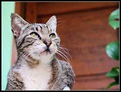 La belleza quiso cuerpo, por eso se transform en Morris (MaPeV) Tags: morris bellolindoguapetn gatos cats chats kawaii felin neko gatti gattini gattoni tabby chat katze gato kitty tabbyspoted powershot canon g16