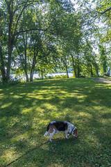 _DSC0046 (johnjmurphyiii) Tags: 06416 beagle connecticut connecticutriver cromwell cromwelllanding fletch originalnef park riverroad summer tamron18270 usa dog johnjmurphyiii