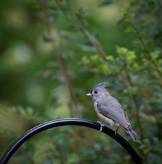 Titmouse (www.JudyLindoPhotography.com) Tags: photography birds judylindophotography tuftedtitmouse wadingriver judylindo ny