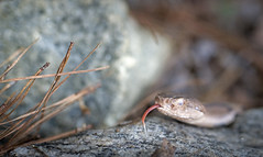 Copperhead (cre8foru2009) Tags: agkistrodoncontortrix copperhead snake reptile herping nature reptilesandamphibians georgia