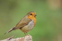 IMGP7291 Robin, Barnwell, September 2016 (bobchappell55) Tags: robin naturereserve bird barnwellcountrypark morthamptonshire wild wildlife nature