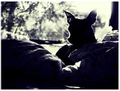 #Hund #dog #nackthund #bett #blackandwhitephotography #b&w evening #mood #light (dr_henk) Tags: sonyrx100 mood hund ambience chinesecrested dog