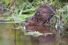 _DSC0816 (Andy Silver) Tags: andy water vole voles andy999