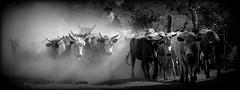 A todos os trabalhadores (Eduardo Amorim) Tags: brazil horses horse southamerica brasil caballo cheval caballos kuh cow rind cattle cows ox ganado cavalos oxen mucca pferde cavalli cavallo cavalo gauchos pferd riograndedosul pampa bois khe vache vaca vacas campanha brsil vaches boi chevaux gaucho buey  amricadosul mucche fronteira boeuf vieh gacho amriquedusud  gachos  boeufs buoi sudamrica rinder gado suramrica amricadelsur bueyes sdamerika mue pinheiromachado  bestiami btail americadelsud americameridionale campeiros campeiro