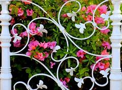 La reja (camus agp) Tags: espaa flores jardin canoneos malaga blancos rejas verja bougainvilleas