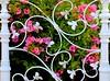 La reja (camus agp) Tags: españa flores jardin canoneos malaga blancos rejas verja bougainvilleas
