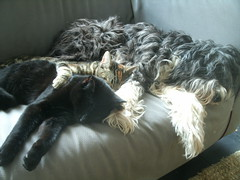 Dogs and cats taking a nap together. (Jo Hedwig Teeuwisse) Tags: cats dogs lili catsanddogs dogsandcats moppie vlo moortje
