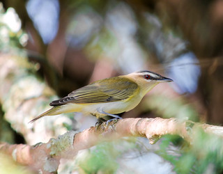 Red-eyed Vireo (Vireo olivaceus) (EXPLORE May 26, 2015) - Warren County, NJ