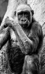 The thinker (explored) (chrisroach) Tags: portrait blackandwhite bw calgary monochrome animal zoo blackwhite shadows gorilla wildlife thinker thinking planet ape animalplanet calgaryzoo westernlowlyinggorilla