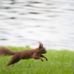 "Jumping squirrel near the river<a href=""http://www.flickr.com/photos/28211982@N07/18054504680/"" target=""_blank"">View on Flickr</a>"