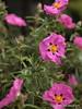 Cistus in full flower. (pike head) Tags: uk england flower garden olympus devon torquay e30 torbay cistus photoengine oloneo