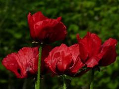 Pavots 05 2015 (ardoise08) Tags: fleurs ardennes argonne pavot papaverorientale vouziers pavotrouge