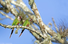 Gray-breasted Parakeet_Tiriba-de-peito-cinz_Pyrrhura griseipectus_