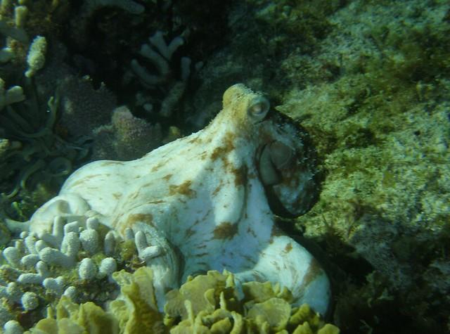 Octopus Night Dive