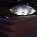 THE BIG FISH IN BELFAST AT NIGHT [BY JOHN KINDNESS] REF-104720