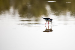 Black-necked Stilt (Gigin - NoDigital) Tags: people lake bird nature water animals unitedstates legs blackneckedstilt body parts united everglades states geography bodyparts stilt blacknecked