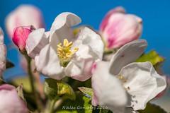 Apple blossom (gynsy75) Tags: flowers plants macro spring blossom floraandfauna