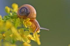 Schnecke im Rapsfeld Snail in the rape field (magic_lightblue) Tags: macro insect natur snail raps schnecke makrofotografie