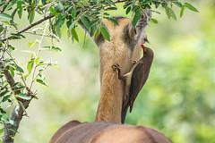 Suedafrika-11 (Lukas P Schmidt) Tags: nationalpark antilope krugerpark