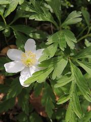 Anmone sylvie (L'herbier en photos) Tags: wood sylvie european belgique anemone bosque ranunculaceae lige anmona wallonie modave nemorosa condroz renonculaces