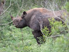 black rhino (cosmonaut576) Tags: wildlife olympus safari pro 28 swaziland blackrhino gamedrive 40150 8pro omdem5 olympusmzuikodigitaled40150mm12