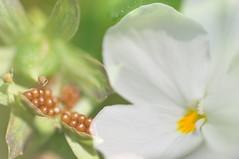 from seed to blossom and back (nirak68) Tags: deutschland blossom doubleexposure seed lbeck blte viola saat ger veilchen hornveilchen weis violacornuta balkonpflanzen doppelbelichtung 151366 schleswigholsteinkreisfreiehansestadtlbeck 2016ckarinslinsede