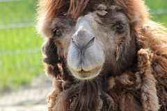 Big Boy Napoleon (excellentzebu1050) Tags: animal closeup outdoor farm camel moulting animalportraits camelus camelusbactrianus coth5