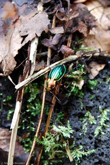 Carabe  reflets dors - Carabus auronitens (Mathias Dezetter) Tags: animal fauna insect rouge or beetle vert animaux couleur insecte color coleoptera faune brillant coloptre scarab arthropode invertbr