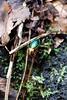 Carabe à reflets dorés - Carabus auronitens (Mathias Dezetter) Tags: animal fauna insect rouge or beetle vert animaux couleur insecte coloré coleoptera faune brillant coléoptère scarabé arthropode invertébré