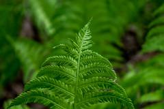 Forest Ferns (James P. Mann) Tags: park forest centennial spring moncton ferns gree
